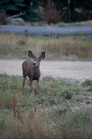 Walt Hester | Trail-Gazette<br /> A small mule deer wanders throu Carriage Hills while grazing on Tuesday.