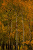 Walt Hester | Trail-Gazette<br /> Taller, older aspens seem to lead a grove near the Bear Lake Road on Tuesday.