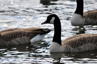 Walt Hester   Trail-Gazette A flock of Canada Geese bob about in Lake Estes on Thursday.
