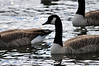Walt Hester | Trail-Gazette<br /> A flock of Canada Geese bob about in Lake Estes on Thursday.