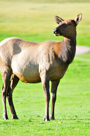 Walt Hester | Trail-Gazette<br /> A cow elk watches as a large bull struts around the 18-hole public course on Thursday.