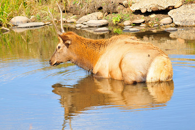 Walt Hester   Trail-Gazette A young bull cools off in a pond at the Lake Estes 9-hole golf course on Thursday. Last weeks unusual heat slowed down many of the area's large fuzzy creatures.