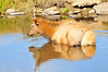 Walt Hester | Trail-Gazette<br /> A young bull cools off in a pond at the Lake Estes 9-hole golf course on Thursday. Last weeks unusual heat slowed down many of the area's large fuzzy creatures.