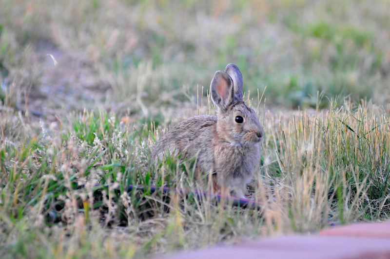 Walt Hester | Trail-Gazette<br /> A rabbit stands out in a lawn along Scott Avenue on Wednesday.