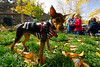 Walt Hester | Trail Gazette<br /> A miniature Doberman Pinscher stands guard near his family in a colorful Tregent Park on Sunday. Warm weather coupled with the fall color, drew families up to Estes Park and outside to enjoy the day.