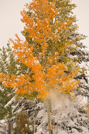 Walt Hester | Trail Gazette<br /> Heavy, wet snow falls from an aspen tree along Brodie Avenue on Wednesday. Estes Park saw 14 inches of the white stuff as the first winter storm of the season slowly rolled through.