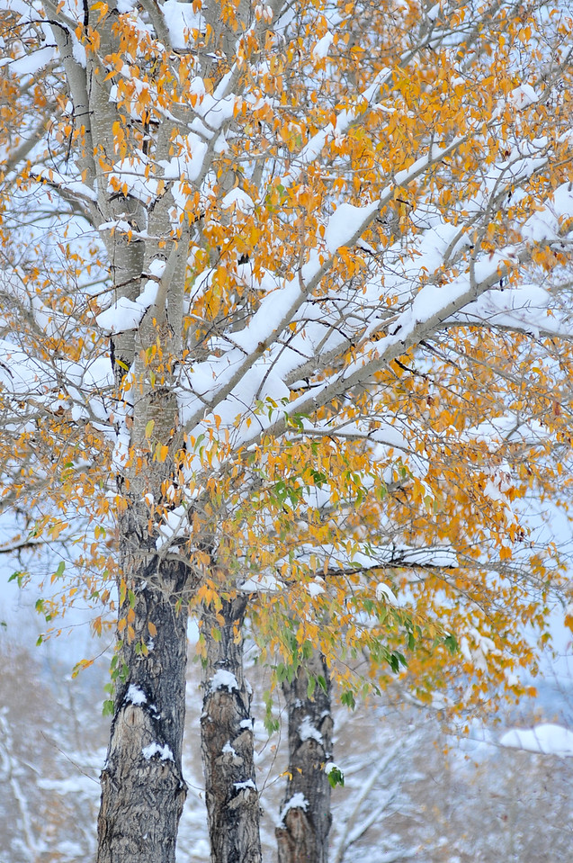 Walt Hester | Trail Gazette<br /> Snow piles on aspen trees along Elkhorn Avenue on Wednesday. Though pretty, the combination can be damaging as the leaves tend to hold the snow, weighting and snapping branches.