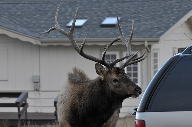 Walt Hester | Trail-Gazette<br /> A large bull elk seems to peer inside the back of an SUV in Carriage Hills on Tuesday. The docile though large bull was alone, suggesting much larger bulls have won out this year.
