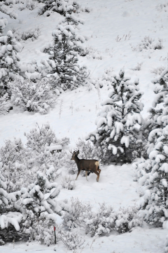 Walt Hester | Trail Gazette<br /> A buck makes its way through new snow on a hillside near South St. Vrain Avenue on Wednesday. Mid-Autumn tends to bring more moisture to this area than the winter months.