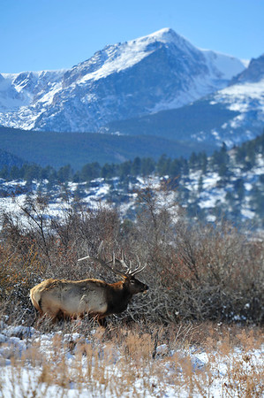 Walt Hester | Trail Gazette<br /> A large bull stands proudly against a backdrop of Hallett Peak on Thursday. As the rut winds down, bulls are beginning to drift away from the herds of cows and calves.