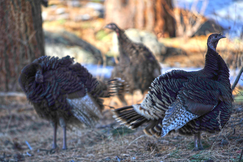 Walt Hester | Trail Gazette<br /> Turkeys wander about the side of the north road into Rocky Mountain National Park on Wednesday. The turkeys were oblivious of upcoming American holidays.