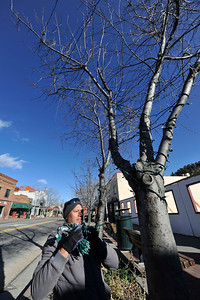 Walt Hester | Trail Gazette Aldo Emerson raps holiday lights around a tree along Elkhorn Avenue on Wednesday. Estes Park is looking more and more festive as the Catch the Glow Parade approaches.