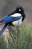 Walt Hester | Trail Gazette<br /> A magpie purches on a tree in Horseshoe Park on Tuesday.