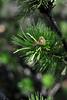 Walt Hester | Trail Gazette<br /> An aspen leaf hangs suspended in an evergreen's needles on Wednesday.