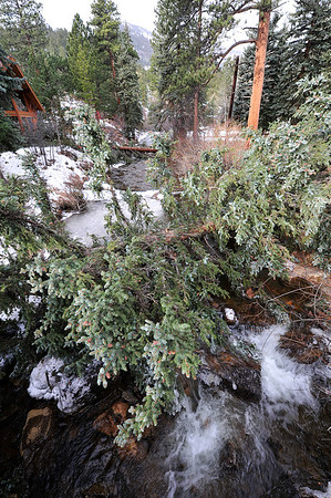 Walt Hester | Trail Gazette<br /> Trees lay over the Fall River west of downtown on Tuesday. The weekend windstorm snapped trees and sent them into cars, houses and across roads in and around Estes Park.
