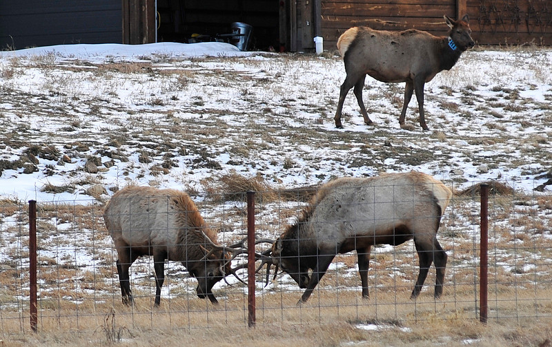 Walt Hester   Trail Gazette<br /> A cow elk seems unimpressed by the vigorous jousting of a pair of bulls near Fish Creek Road on Tuesday. While the annual rut is nearly over, jousting continues, mostly between younger bulls.