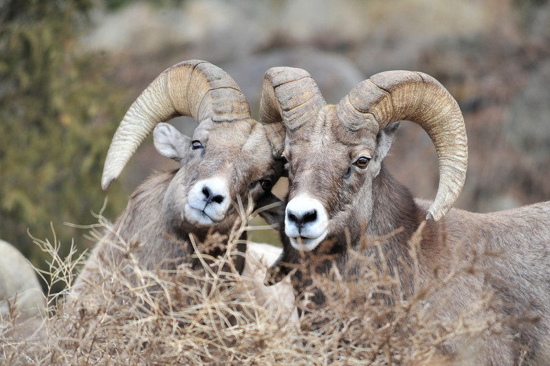 Walt Hester | Trail Gazette<br /> A pair of bighorn rams jostle for dominance above Fall River Road on Monday. The bighorn rut is just about peaking, if not winding down, and rams and their herds are wandering the lower slopes in and around Rocky Mountain National Park.