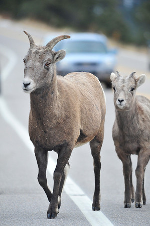Walt Hester | Trail Gazette<br /> A herd of bighorn sheep top traffic along Fall River Road on Monday. With the winter months coming, bighorns are venturing to lower altitudes to find plants and lick minerals from the road.
