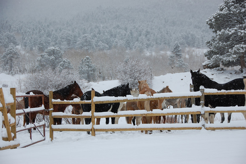Horses gather near the fence of the Cheley Camp pasture south of Fish Creek Road Saturday. The area was covered in snow that fell Nov. 18 and 19.