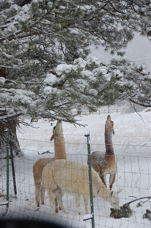 Alpacas at Switzer's farm on Marys Lake Road stretch to nibble on low tree branches while taking shelter under the trees Saturday morning, Nov. 19. A front moving through the area dumped several inches of wet snow on the area. Some areas reported as much as 4.5 inches.