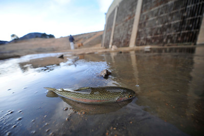 Walt Hester | Trail Gazette A trout lies stranded in shallow water near the dam at Mary's Lake . The lake was drawn down for maintenance, which leaves the fish concentrated into small ponds.