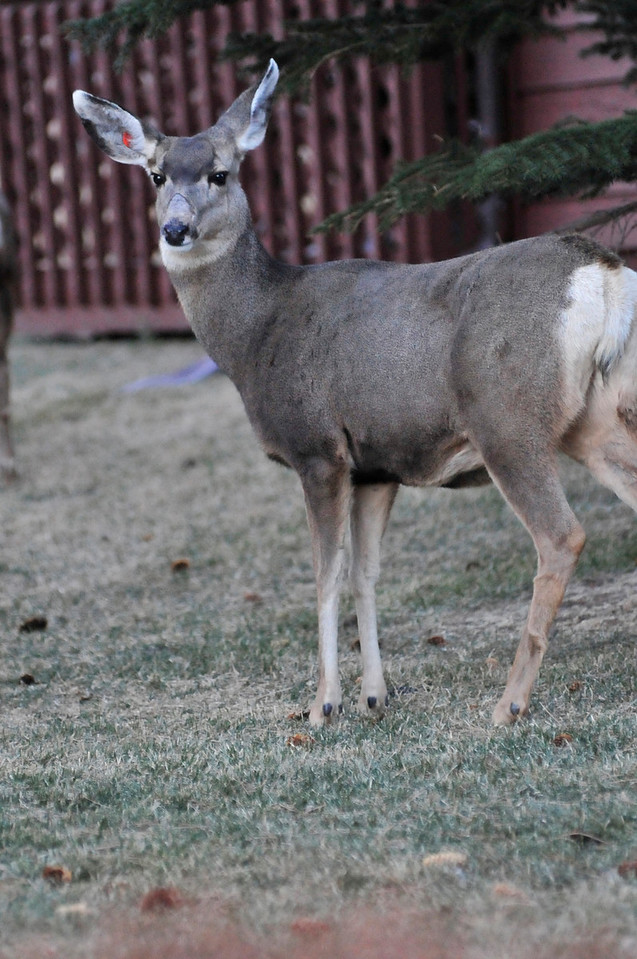 Walt Hester | Trail-Gazette<br /> A deer stops briefly to size up a passer-by near Community Drive on Wednesday.