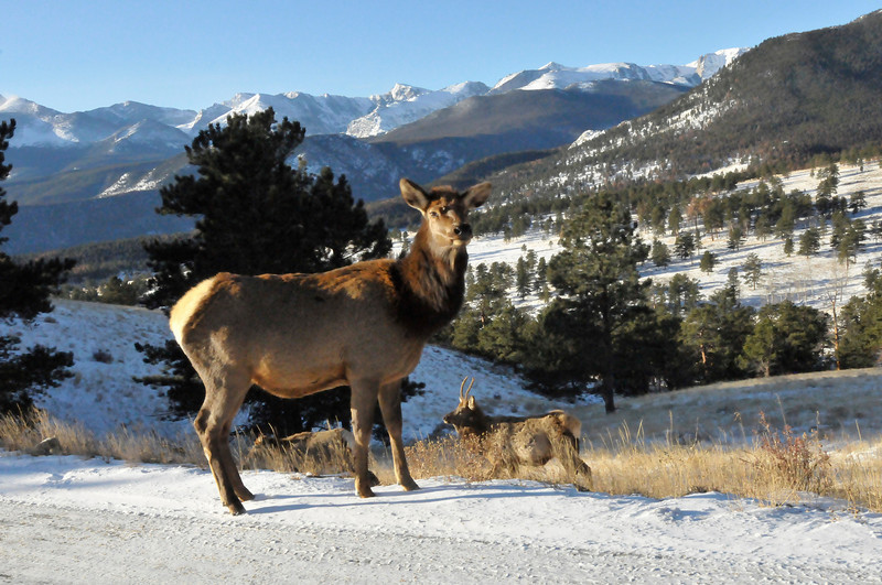 Walt Hester | Trail-Gazette<br /> An elk watches traffic pass in the snow-covered Rocky Mountain National Park on Thursday. Elk still eat grass on Thanksgiving.