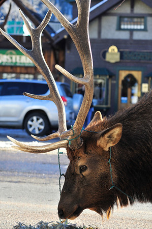Walt Hester | Trail Gazette<br /> A large bull seems unphased unfazed by Christmas lights tangled in his antlers downtown on Wednesday. The bull was startled at first when he realised he was tangled, but easily yanked the string of lights loose.
