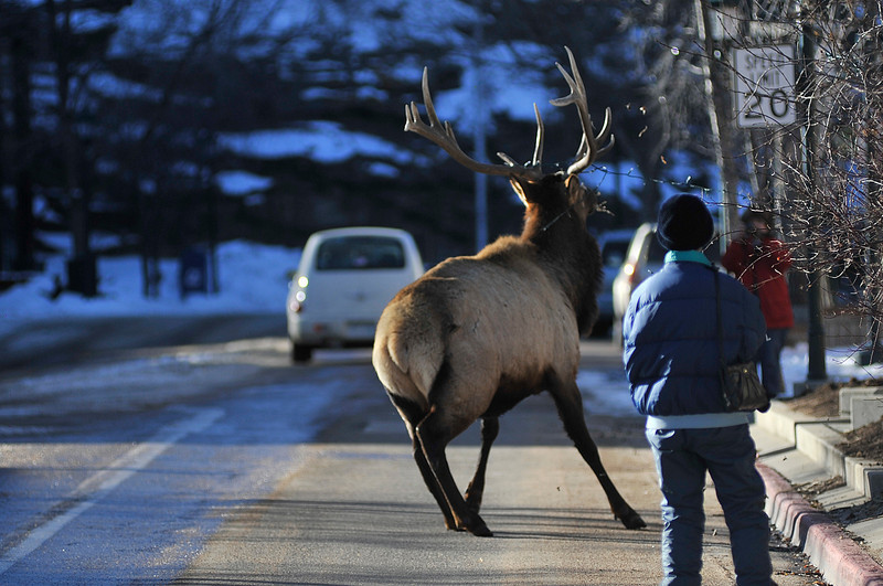 Walt Hester | Trail Gazette<br /> A bull elk yanks Christmas lights and himself free from his entanglement. Bulls often get tangled in lights, swings and even lawn furnature around Estes Park.