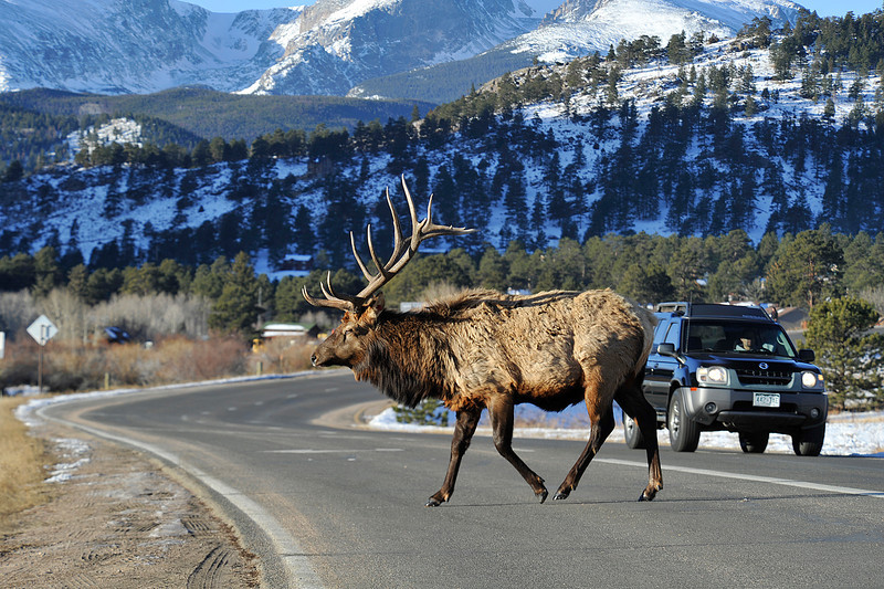 Walt Hester | Trail Gazette<br /> A bull elk saunters across Morain Avenue on Saturday morning. Elk walk across major roads in Estes Park all through the year testing drivers focus and skills.