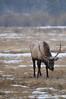 Walt Hester | Trail Gazette<br /> A bull grazes through Horseshoe Park as snow falls on Monday. The Estes Park area did not see much accumulation from the storm, but more snow is expected on Thursday.