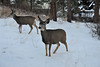 Walt Hester | Trail Gazette<br /> A pair of deer creep slowly up to a deck in Carriage Hills on Sunday. Deer and elk in Estes Park seem to be fearless and used to humans in the mountains.