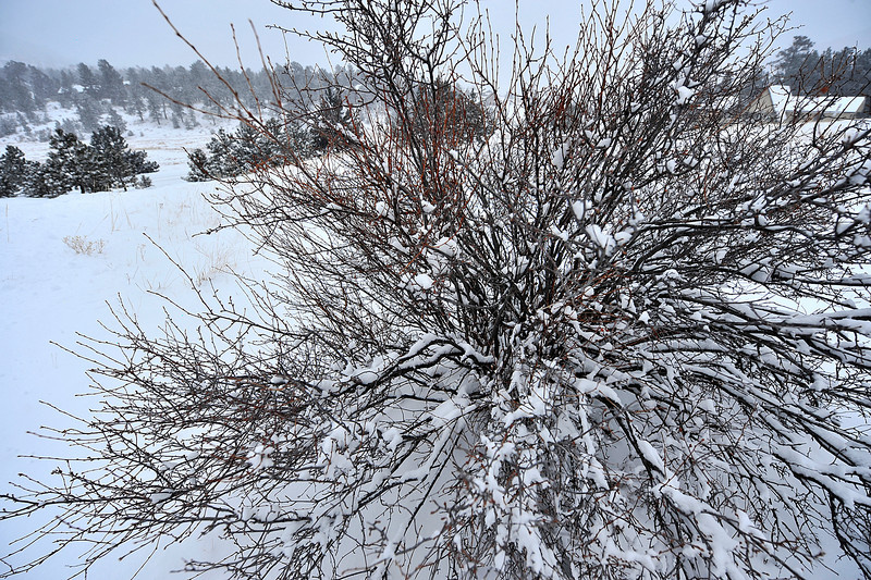 Walt Hester | Trail Gazette<br /> Snow clings to a shrub in Carriage Hills last week. Snow my return this weekend.