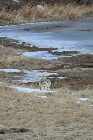 Walt Hester | Trail Gazette<br /> A coyote scans for breakfast along Lake Shore Drive on Wednesday.The canid was searching for rodets, mostly.