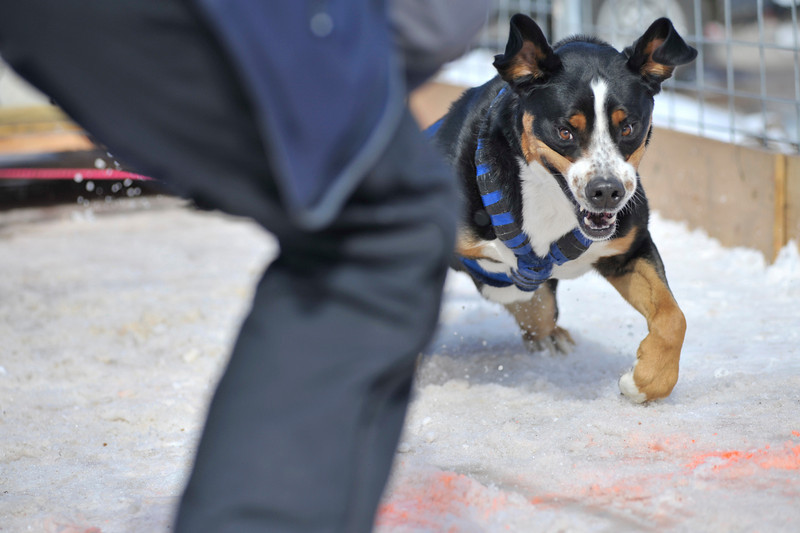 Walt Hester | Trail Gazette<br /> Bridger, a 109-pound Greater Swiss Mountain Dog, pulls an astonishiong 930 pounds at Sunday's Estes Cup dog weight pulls. The annual event attracted firry athletes from as far away as Montrose.
