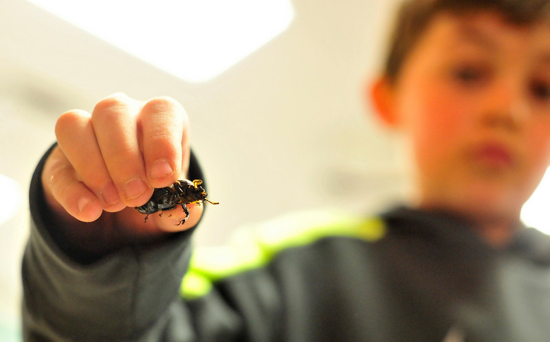 Walt Hester | Trail Gazette<br /> Zane Freel holds a bess beetle at the elementary school on Friday. The class tested the large insects' strenth one of which pulled 17 times it's body weight.