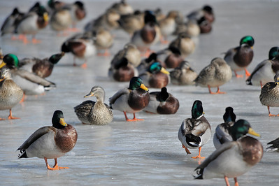 Walt Hester | Trail Gazette Ducks cluster together on a frozen section of pond near Mary's Lake Road and the Fall River on Wednesday.