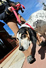 Walt Hester | Trail Gazette<br /> Sgt. Pepper, a rescued research lab dog, shys away from glass in Riverside Plaza on Wednesday. Kathy Brent of Niwot explained the dog doesn't like windows or glass doors.