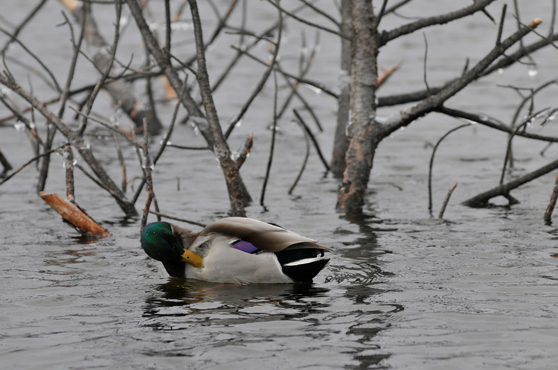 Walt Hester   Trail-Gazette<br /> A mallard preens as it floats past ice-covered branches stiking out of Lake Estes on Monday. Cold and ice will be the expected weather for the Thanksgiving weekend.