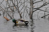 Walt Hester | Trail-Gazette<br /> A mallard preens as it floats past ice-covered branches stiking out of Lake Estes on Monday. Cold and ice will be the expected weather for the Thanksgiving weekend.