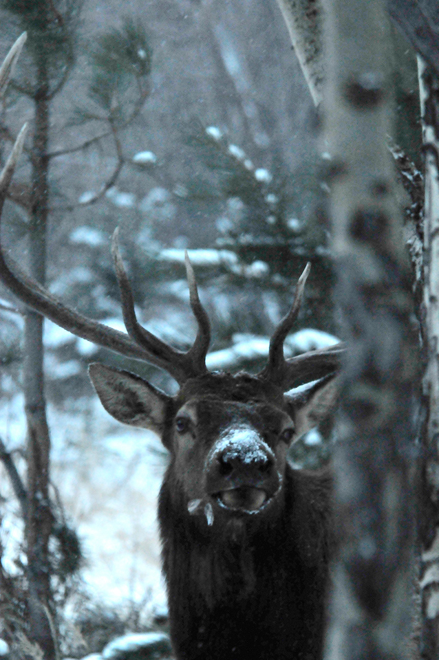 Walt Hester | Trail-Gazette<br /> A bull elk peeks out from a stand of aspens through snow in Endovalley on Monday. Cold weather is expected at least until Saturday.