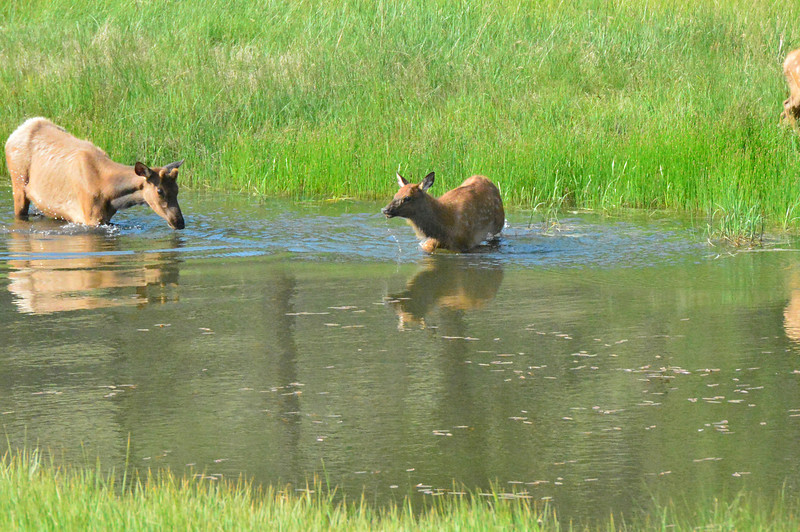 A yearling bull and a calf take a dip in one of the Scott Ponds on Wednesdy evening. The large ungulates are often seen in lakes and ponds during the heat of the summer.