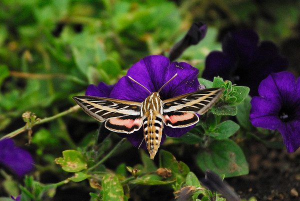 Photo by Walt Hester<br /> A moth the size and speed of a hummingbird darts in and out of colorful flowers along Riverside Drive on Tuesday.