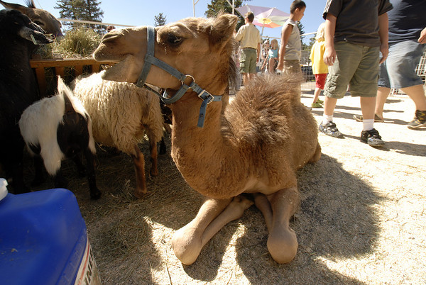 Photo by Walt Hester<br /> Children and grown ups are treated to a petting zoo at the Estes Park Heritage Festival.