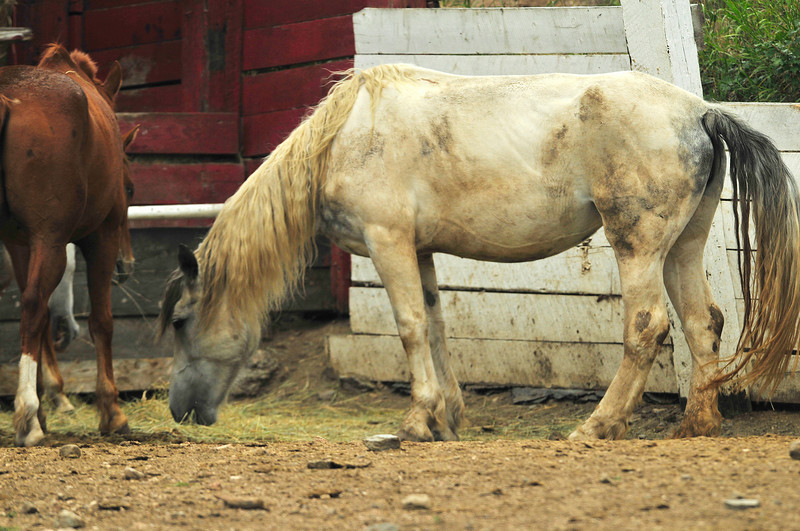 Photo by Walt Hester<br /> A horse nibbles at hay in its pen in Glen Haven on Tuesday.