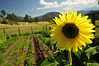 Photo by Walt Hester<br /> Sunflowers and vegetables sprout from the garden on MacGregor Ranch on Friday.