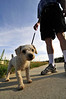 Photo by Walt Hester<br /> Cuddles, a full-blood poodle, enjoys a warm morning walk with owner Larry Pierce on the Fish Creek Trail near Scott Avenue on Sunday.