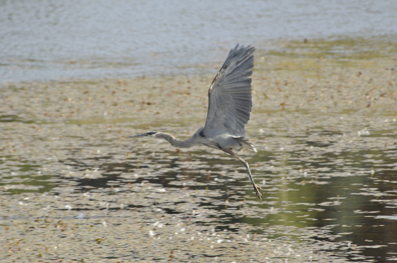 Photo by Walt Hester<br /> A heron takes flight off of a pond near Carriage Drive on Sunday. The big birds are often seen in the Estes Park area in summer.