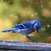 Snow Blue Jay