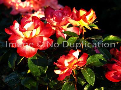 2009 0705:  Rose Garden in Leif Erikson Park; Duluth, MN.